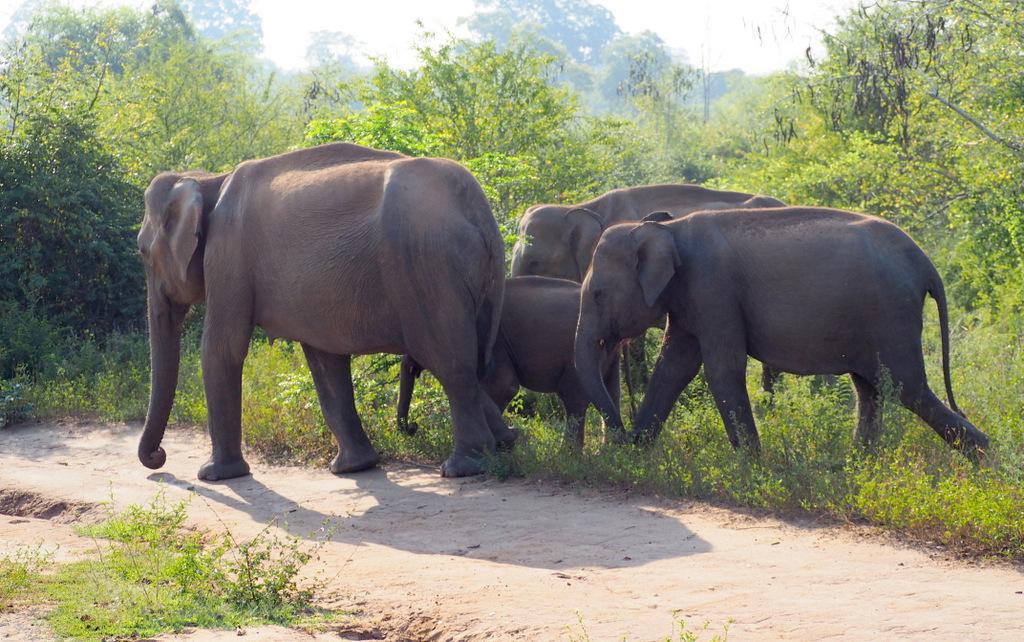 Etap 1: Opuszczone lotnisko i wolne słonie w Udawalawe 61