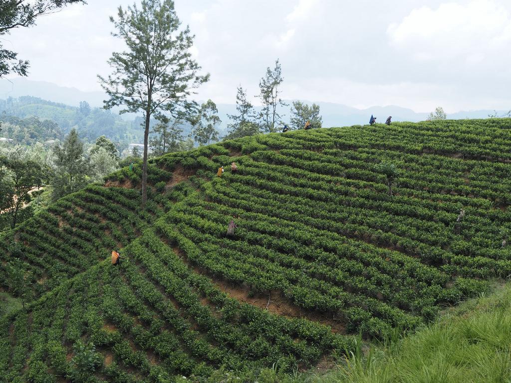 """Etap 6: Hill Country. Pociągiem przez """"herbaciane wzgórza"""" 62"""