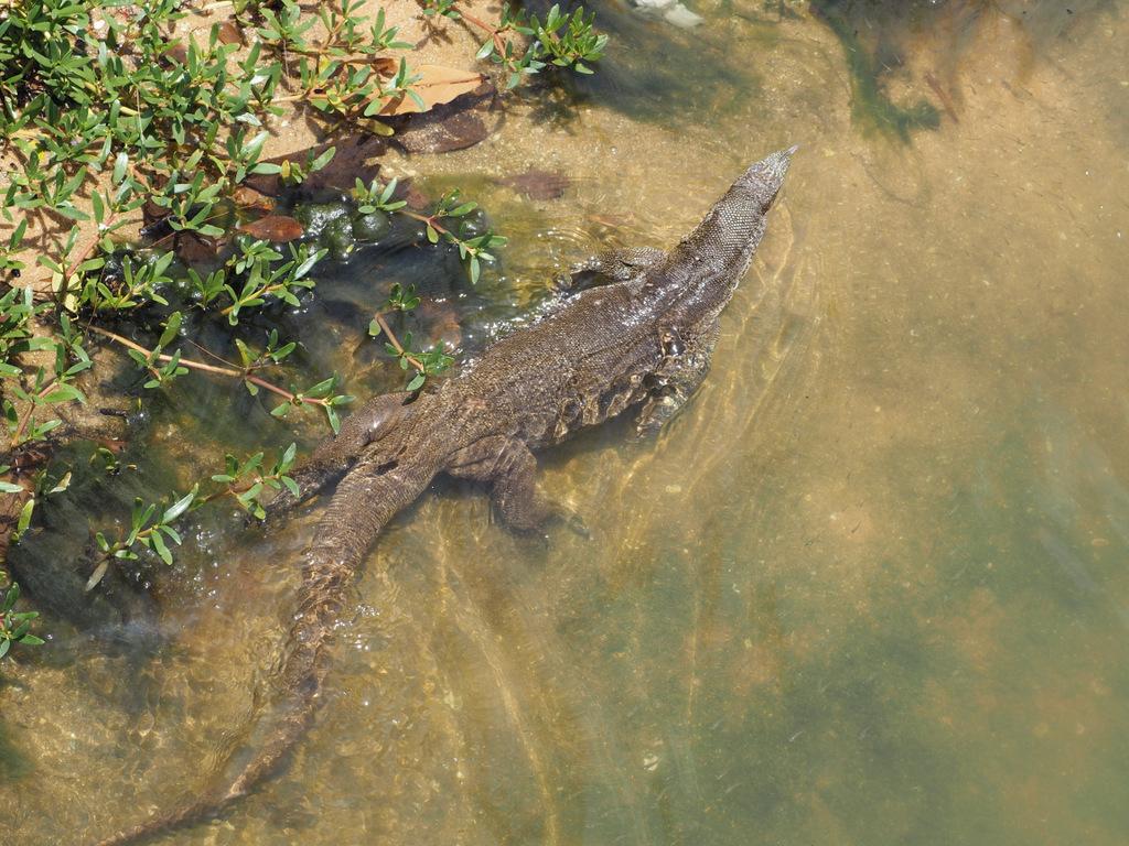 Etap 7. Tangalle Lagoon. Żółwie, warany i inne ptaki laguny 6
