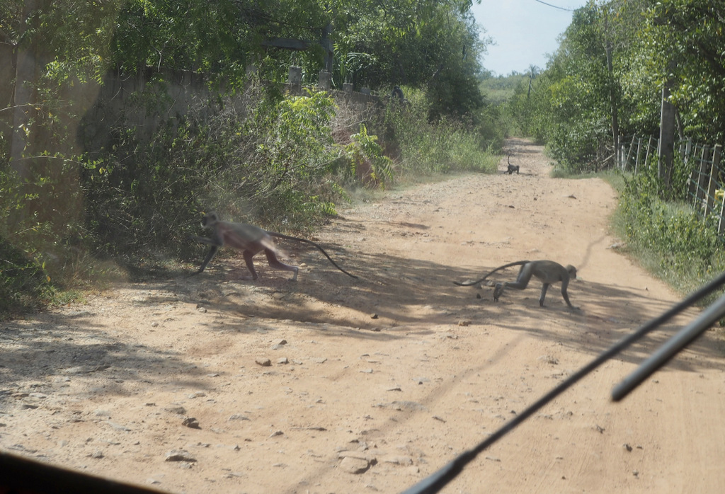 Etap 7: Tangalle Beach. O kozie, która była psem i małpach czmychających spod kół 12