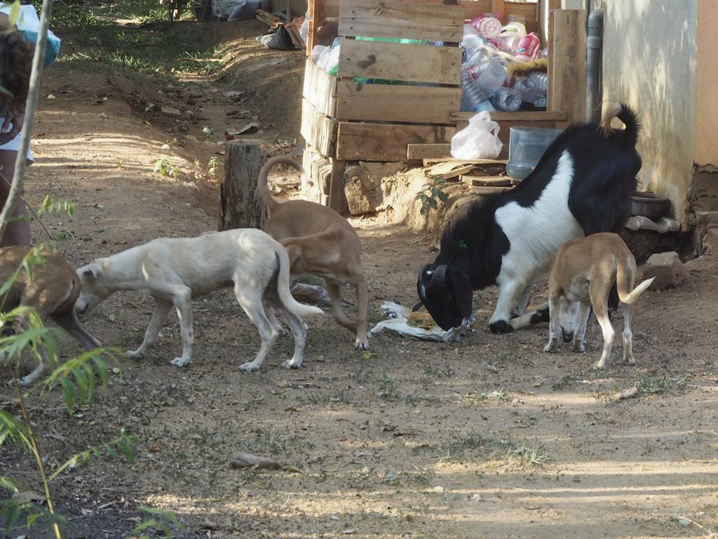 Etap 7: Tangalle Beach. O kozie, która była psem i małpach czmychających spod kół 45